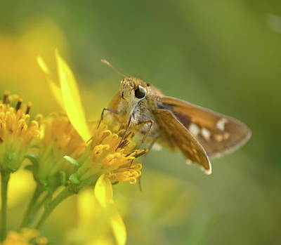 Photograph - Alighted Skipper by JD Grimes