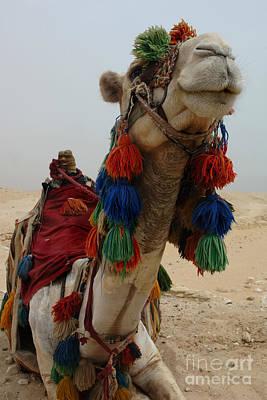 Camel Photograph - Camel Fashion by Bob Christopher
