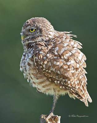Photograph - All Puffed Up by Mike Fitzgerald