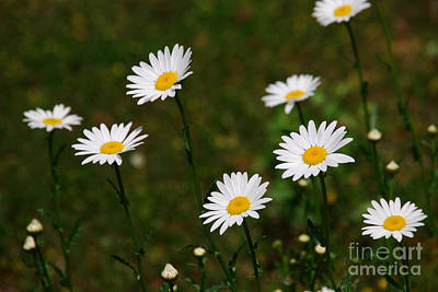 Floral Photograph - All The Dasies by Susanne Van Hulst