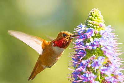 Y120831 Photograph - Allen's Hummingbird by Eric Lo