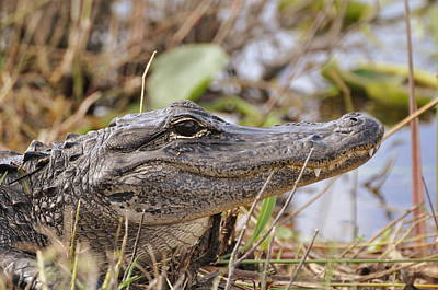 Photograph - Alligator 1 by Helen Haw