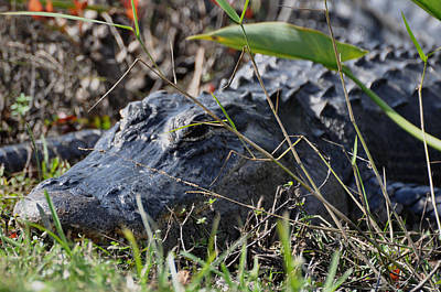 Photograph - Alligator by Helen Haw