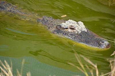 Photograph - Alligator by Randy J Heath