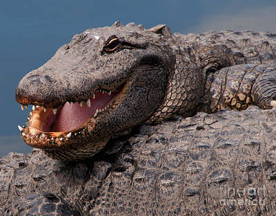 Art Print featuring the photograph Alligator Smile by Art Whitton