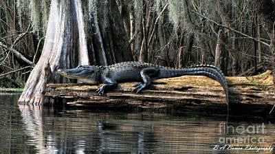 Alligator Sunning Original by Barbara Bowen