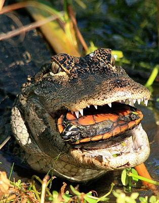 Photograph - Alligator With A Turtle by Ira Runyan