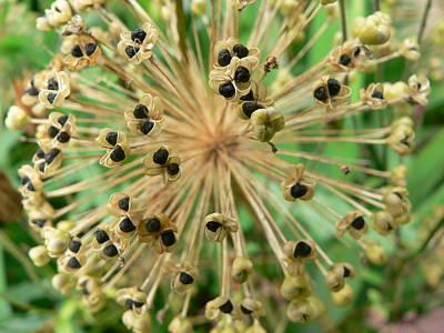 Allium  Original by Martin Alexander Anttila