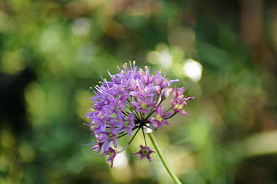 Photograph - Allium Stellatum by Bj Hodges