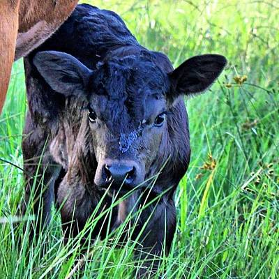 Cow Photograph - #all_shots #ranchlife #bestoftheday by Lisa Yow