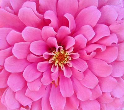 Zinna Photograph - Almost Perfect Zinna by Jeanette Oberholtzer