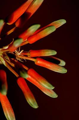 Photograph - Aloe Bloom 5 by David Weeks