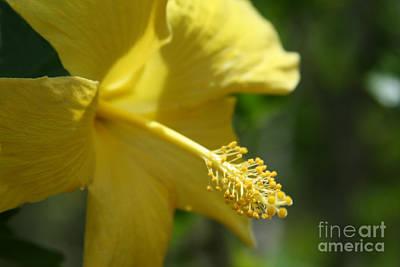Photograph - Alohalani Pua Melia Lei Manakai by Sharon Mau