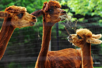 Photograph - Alpaca Family by Scott Hovind