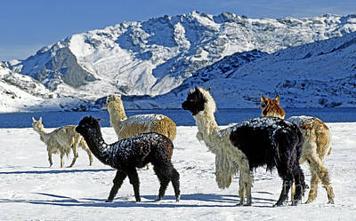 Art Print featuring the photograph Alpacas In The Snow - Peruvian Andes by Craig Lovell