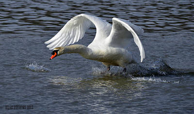 Pinion Photograph - Alpha Swan A by Brian Stevens