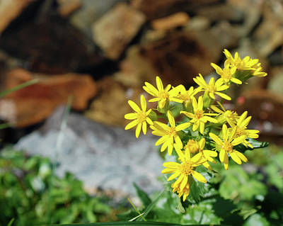 Photograph - Alpine Arnica by Jan Piet