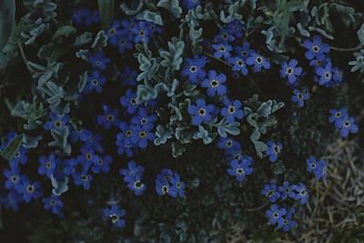 Beartooth Mountain Range Photograph - Alpine Forget-me-nots Wildflowers by Raymond Gehman