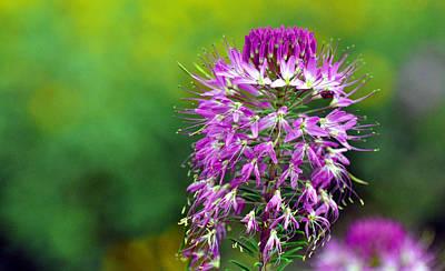 Photograph - Alpine Kittentail Flower by Gene Sherrill