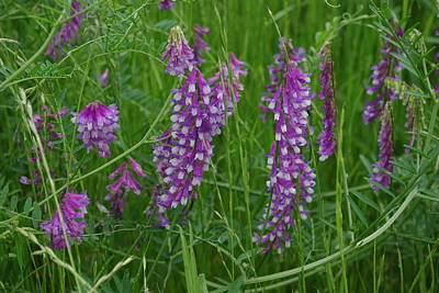 Photograph - Alpine Vetch 3 by Robyn Stacey