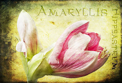Photograph - Amaryllis by Sandra Sigfusson