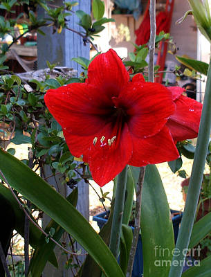 Photograph - Amaryllis by Sibby S