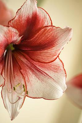Rockville Photograph - Amaryllis 'temptation' Close-up by Maria Mosolova
