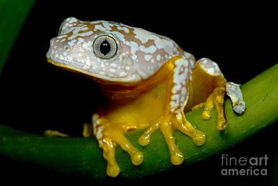 Amazon Leaf Frog Art Print