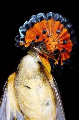 Amazonian Royal Flycatcher Art Print by Dr Morley Read