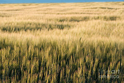 Artist Working Photograph - Amber Waves Of Grain by Cindy Singleton