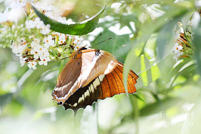 Photograph - Amber Wings by Andrea Hazel Ihlefeld