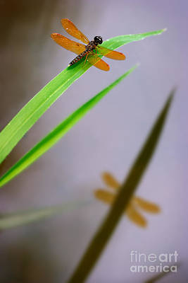 Dragonfly Photograph - Amberwing Reflection by Susan Isakson