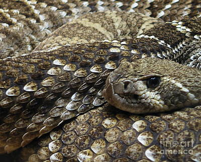 Diamondback Photograph - Ambush by Joe Jake Pratt