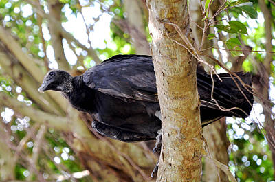 Art Print featuring the photograph Amercan Black Vulture by Pravine Chester