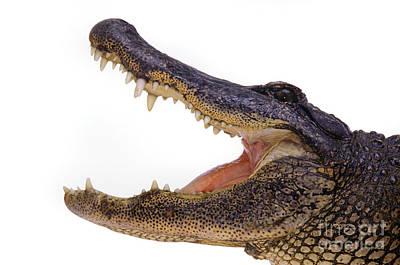 Photograph - Americal Alligator by Craig Lovell
