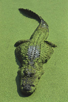 Alligator Photograph - American Alligator Alligator by Heidi & Hans-Juergen Koch