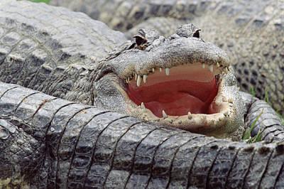 Alligator Photograph - American Alligator Alligator by Tim Fitzharris