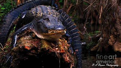 Photograph - American Alligator On A Cypress Tree by Barbara Bowen