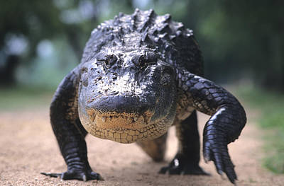American Alligator Walking On A Trail Art Print by Philippe Henry
