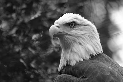 Eagle Photograph - American Bald Eagle by David Rucker