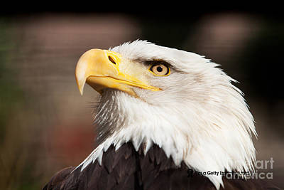 Pete Reynolds Photograph - American Bald Eagle by Pete Reynolds