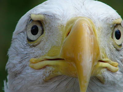 Photograph - American Bald Eagle by Randy J Heath