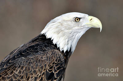 American Bald Eagle Art Print