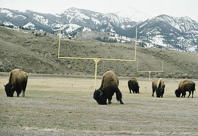 American Bison Bison Bison Graze Art Print by Tom Murphy