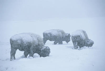 American Bison Graze During A Snowstorm Art Print by Tom Murphy
