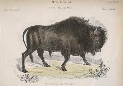 American Bison Art Print by Hulton Archive