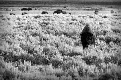 American Bison In Black And White Art Print