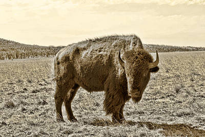 Photograph - American Bison In Gold Sepia - Left View by Tony Grider