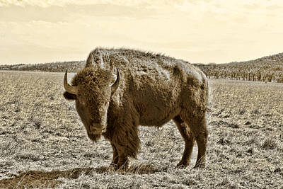 Southwest Landscape Digital Art - American Bison In Gold Sepia- Right View by Tony Grider