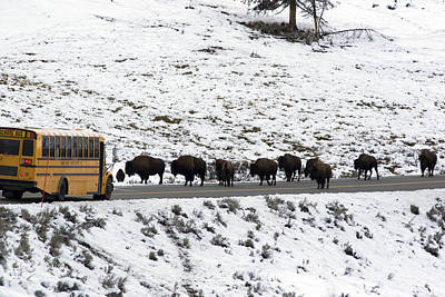 American Bison In The Road Halt Traffic Art Print by William Allen